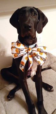 a black 5-month-old Great Dane is facing the camera, sitting on a beige dog bed on a marbled tile floor in front of a white wall. She's wearing a purple harness and a turquoise collar. Attached to her collar is a giant Sailor Moon style bow made of white ribbon with orange jack o'lanterns printed on it.